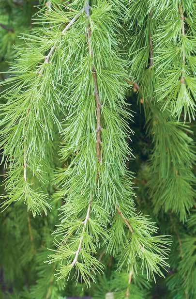 characterized by high stocking and normality, presence or domination of Khingam fir (Abies nephrolepis) in second growth and dash of hardwoods.