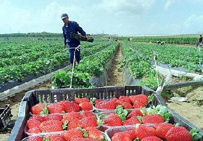 STRAWBERRY FARMS IN DOÑANA The strawberry farms in Doñana area started like an experiment but nowadays this area comprises between 4500 and 6000 hectares.