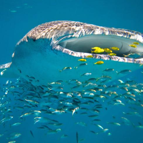 Whale sharks, wilderness & wine Visit Perth, Ningaloo Reef and the Whale Sharks and Humpback whales, Margaret
