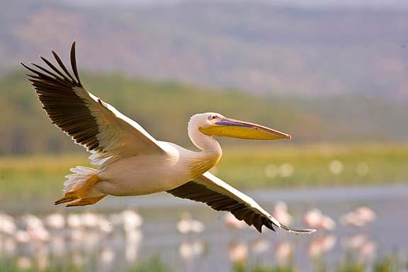 White Pelican Canon EOS 1D Mark lll 400mm f/5.6 IS Africa is famous for spectacular sunrises and sunsets.