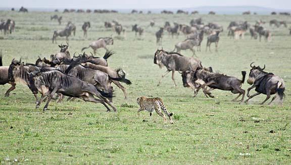 One of the cheetahs selected a young calf. The chase was on! Like a bullet, he built up tremendous speed.
