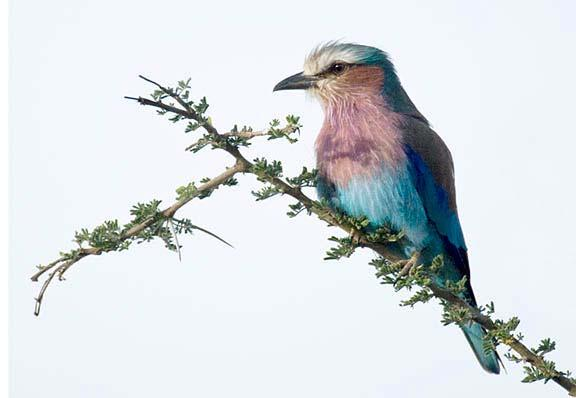 The Roller has always been one of my favorites! Female Lilac Breasted Roller Canon EOS 1D Mark III, 400mm f/5.