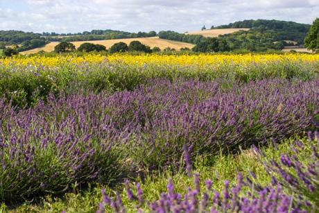 50 z Wed 11 Lavender Fields ~ Hampshire Enjoy a guided tour of the lavender farm and oil distillery and a leisurely stroll through the lavender & wild flower field.