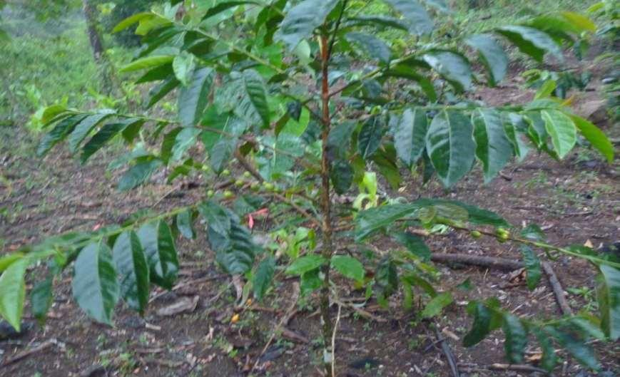 Coffee farming is the main economic activity of