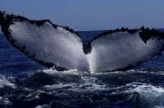 A recently published study by the Wildlife Conservation Society and others reveals that humpback whales on both sides of the southern Indian Ocean are singing different tunes, unusual since humpbacks