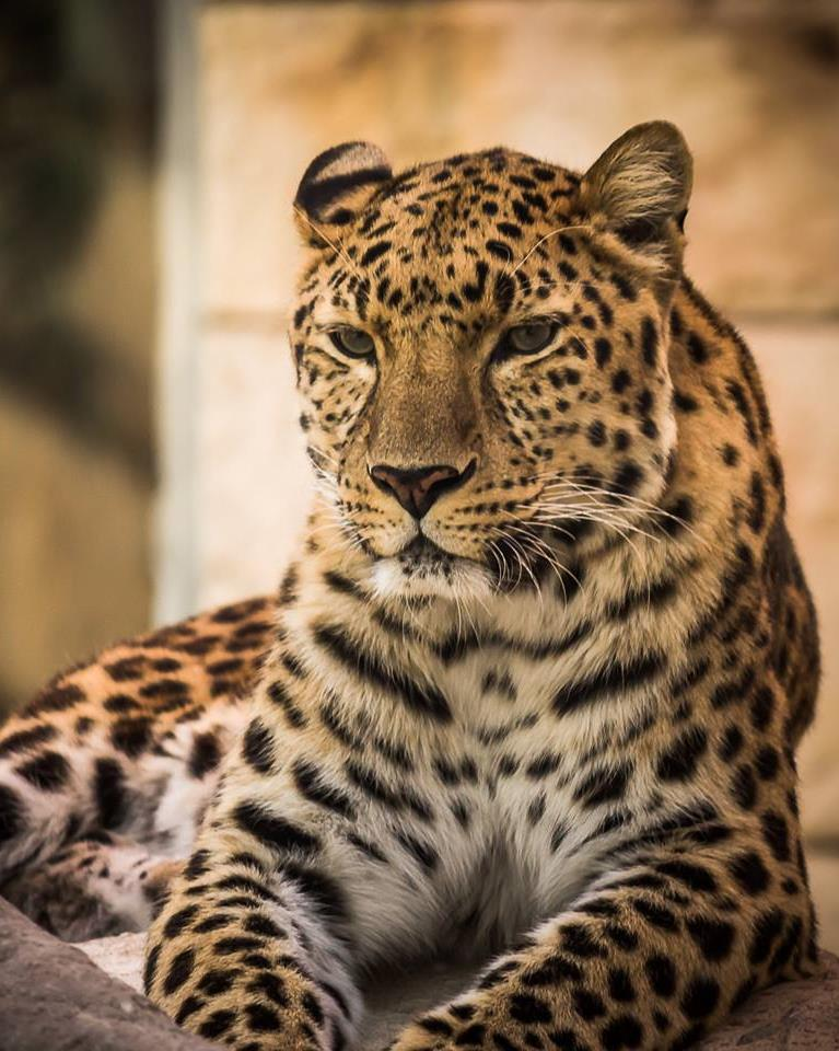 EMIRATES ZOO ABU DHABI With 660 animals, including a majestic pair of white tigers, a 31-year-old, 300kg-plus Siberian bear, lions, cheetahs and dozens of zebras housed in the zoo s Predators and