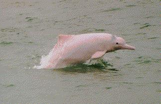 Amazon River Dolphin Amazon River Dolphin Found in the Amazon and Orinoco Rivers 1