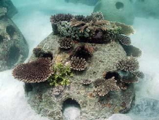 Coral rehabilitation and restoration project in Indonesia: A case study for biodiversity protection and reef