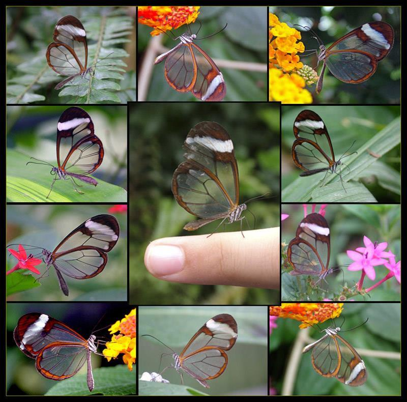 Roving Reporter Alina Howard Glass-wing butterflies live in South America. A butterfly with transparent wings is rare and beautiful.