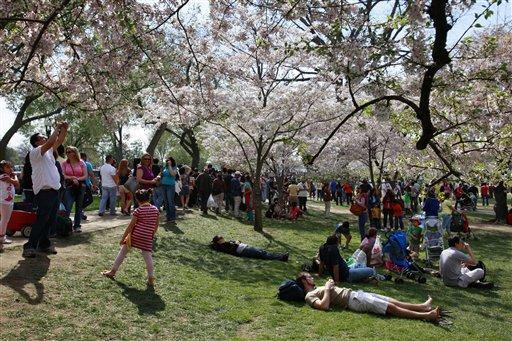 More cherry trees grow in East Potomac Park and around the Washington Monument. The National Park Service suggests that cherry blossoms should be seen during three time periods.