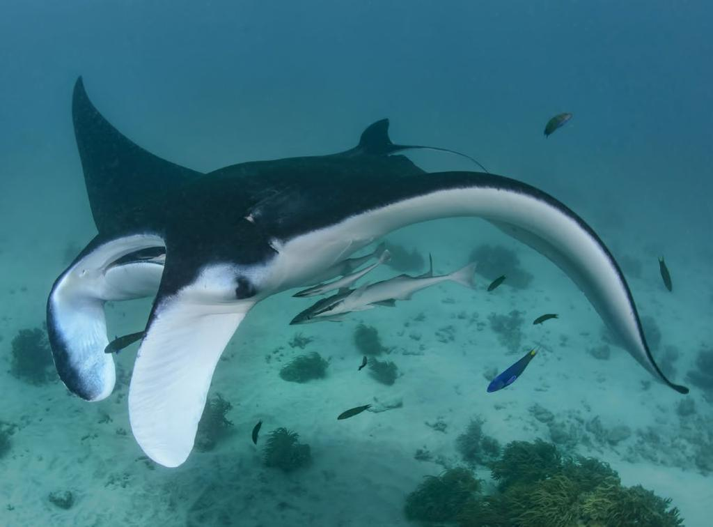 THIS PAGE: Manta rays at the Giants@Home cleaning station, Gonu Bara Bara Island a clear