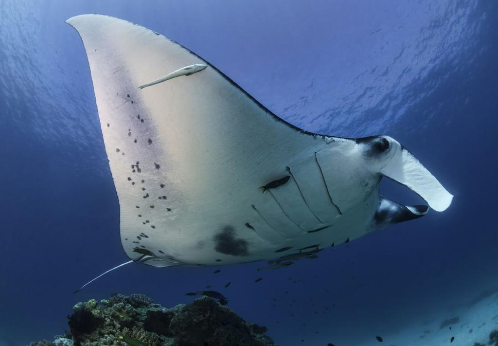 Don t get too close as you will be in the way, and the mantas will not come in as they