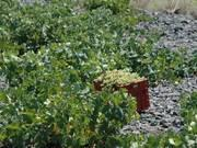 The Santorini vineyard is therefore extremely old and its uniqueness can be found in the fact that it is one of the very few vineyards worldwide that has not been affected by vine louse and has,