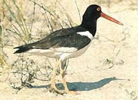 trash and fishing gear. As these mammals are protected, do not harass or feed them. AMERICAN OYSTERCATCHER Around Pinellas County, you will encounter a number of oyster beds.