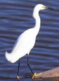 While they are the same 45 White Morph Heron species of bird, the white morph colored heron is distinguishable by a solid white body, yellow beak and pale legs.