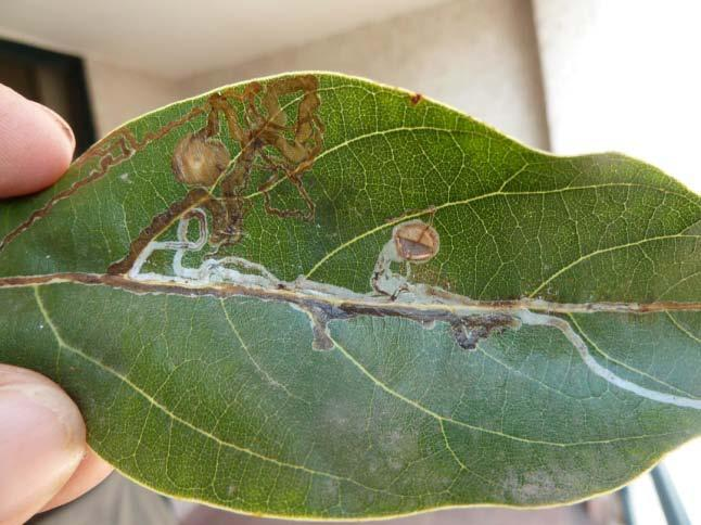 Trees in Ensenada had: (1) persea mite, (2) avocado thrips, (3) red banded whitefly, (4) greenhouse thrips, (5) unidentified leaf miner (all mines were empty), and (6) unidentified mealybug on