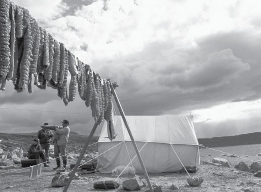 Figure 4 Arctic char drying at camp, Wager Bay,