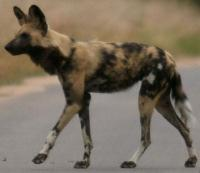 Regional Conservation Context Wild dogs listed as Endangered and cheetahs as Vulnerable on IUCN Red Data List Cheetahs are listed on CITES I; trade also thought to compromise wild populations of wild