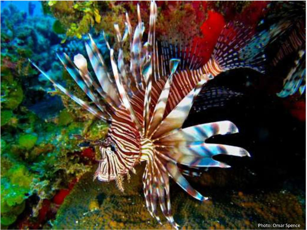 Proceedings of the Caribbean Food Crops Society 47(49-57), 2011 Figure 1: Lionfish sighted in Jamaican waters.