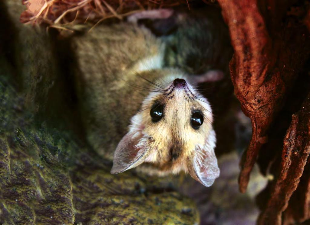 Wildlife Lands 487 SANCTUARIES 60,000 HECTARES THE NEWSLETTER OF HUMANE SOCIETY INTERNATIONAL S WILDLIFE LAND TRUST ISSUE 19, 2017 Above: Slender-tailed dunnart (Sminthopsis murina) at WLT sanctuary