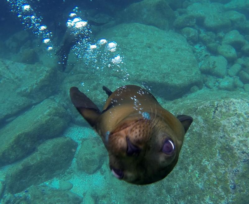 Because Los Islotes colony of sea lions see human visitors just about every day, individuals are very interactive with snorkelers and divers.