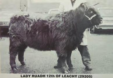 More success followed at the October sale in 1989 when her much admired two year old heifer, Banrigh Ruadh 9th of Leachy having been placed second sold for 3,000gs.