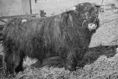 The sale at that time was held in conjunction with a large sale of commercial breeding heifers from all over the West Highlands and Western Isles, the majority of which were crossbred Highland, sired