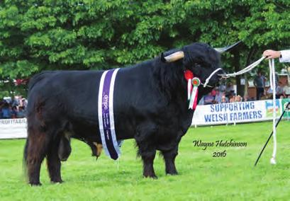 bred by Exhibitor; sire, Lord Angus Of Hisland; dam, Sine Dubh Of Craigowmill 2nd and Best Yearling Male Reserve Male Champion Lot 3211 from Peter Smith; JAK 1ST OF STOCKLEY UK315256500019; 26 Mar