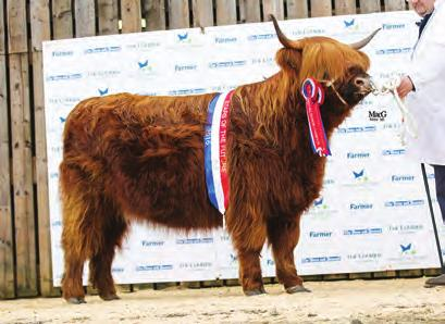 Sire - CLIADHAMH MOR OF BALMORAL 9993, Dam - SIDONIA 8TH OF ORMSARY 61276 Reserve Senior Male Champion Lot 223 - RUARUDH 2ND OF BALMORAL UK521043200452. Born 20/02/15. Red from Balmoral Estates.