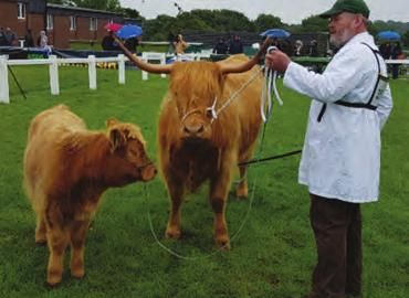 the highland cattle at the Great Yorkshire Show in 2017 after having shown there many years ago.