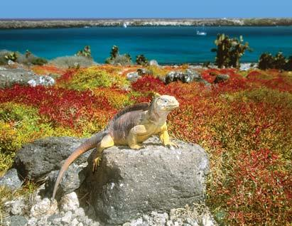 Observe the distinct creatures indigenous to the Galápagos Islands, like this land iguana, the same way Charles Darwin did more than 150 years ago.