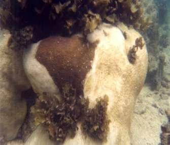 Coral Diseases - Bandless fungal disease