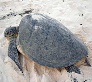 Turtle Island Heritage Protected Area (TIHPA) A transboundary agreement for the conservation and protection of marine turtles between Malaysia
