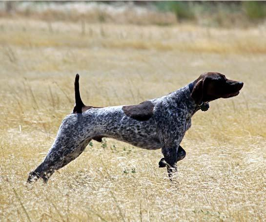 Amateur Gun Dog (Walking-Retrieving) Judges: N Nickol and D Nelson 14 Starters 1.