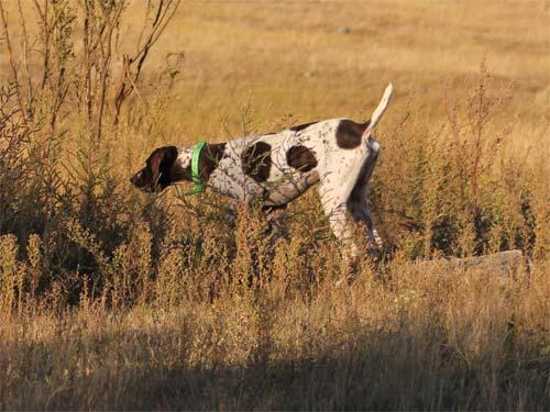 MONTANA GERMAN SHORTHAIRED POINTER CLUB Sunday, August 21, 2011 Three Forks, MT OPEN PUPPY Judges: E Cook and M Chanin 4 Starters 1.