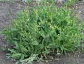 Water Management Narrow leaf fumitory/