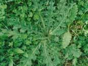 hordaceous Spear thistle Cirsium