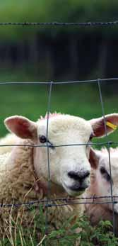 au www.corriedale.org.au THE AUSTRALIAN DOHNE BREEDERS ASSOCIATION Chain Gate RMB 404 Oura Rd Wagga Wagga NSW 2650 Phone: (02) 6921 1271 Email: psimo@dragnet.com.