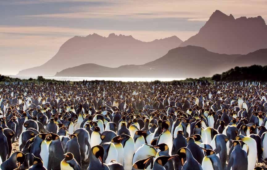 The wildlife spectacle from king penguin colonies with six-digit populations to the tiny endemic South Georgia pipit, back from near extinction is staggering, as
