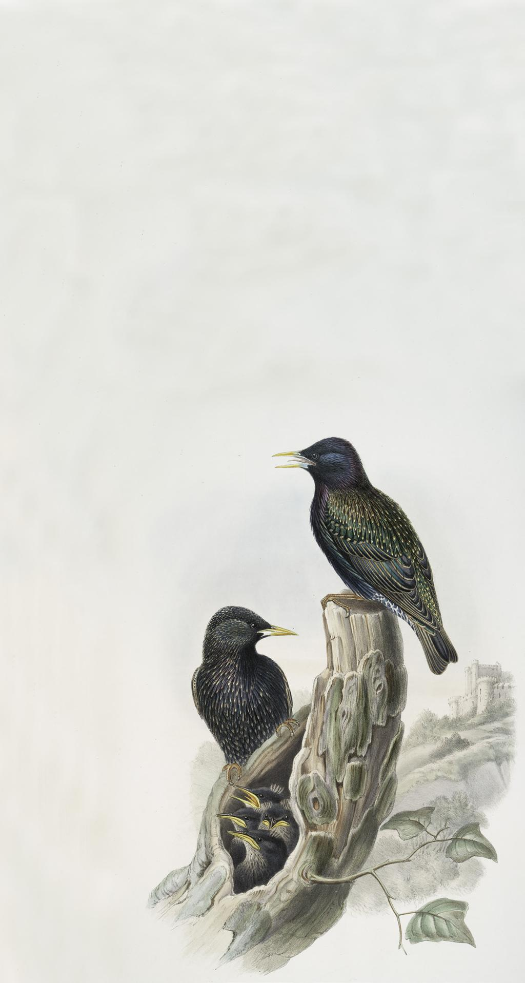 STEP 2 European Starling European starlings may look like harmless little birds, but they re actually a good example of an invasive species.