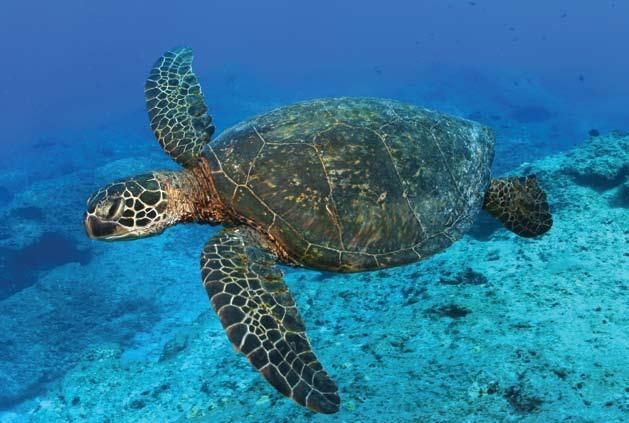 Papahänaumokuäkea Marine National Monument Over 90% of the threatened Green Turtle nestings in Hawai i occur within Papahänaumokuäkea (Photo: James Watt) 6 of a culture that evolved from the last and