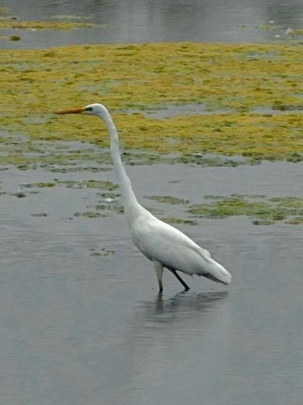 Lastly, the third species of egret, the cattle egret is also now starting to visit us on a regular basis.