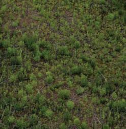 3.6.11 Central Mackenzie Plain LSb Ecoregion This detailed view of burned open black spruce woodland shows the