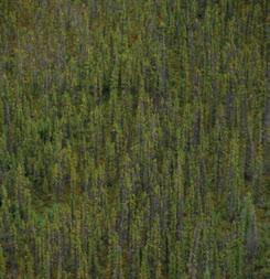 3.7.1 Central Mackenzie Valley HBb Ecoregion In areas that are infrequently burned, black spruce woodlands and forests are widespread on moist to wet till and lacustrine deposits often with