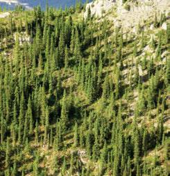3.7.3 Nahanni Range HBsa Ecoregion Subalpine white spruce forests develop where fine materials are washed down by rainwater or snowmelt or moved