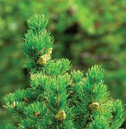 3.7.4 Nahanni Tetcela Valley HBb Ecoregion Jack pine and lodgepole pine hybrids occur throughout the Ecoregion.