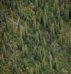 3.7.7 Sunblood Range HBas Ecoregion Spruce forests on southerly slopes and in moist drainages or seepage areas include both black and white