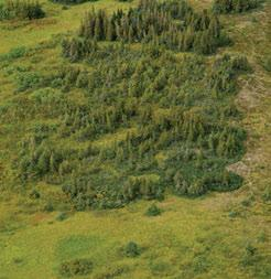 3.8.1 Natla Plateau MBas Ecoregion Alpine fir (circular groves in mid-image that expand outward by layering and rooting of the lower branches) is scattered throughout the Ecoregion, along with