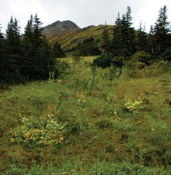 This pattern of dark-coloured alpine fir groves and bright green herbaceous and shrubby meadows is characteristic of high subalpine elevations in areas where milder Pacific weather systems