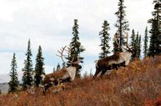 Photo: D. Downing Mountain caribou are found throughout the Taiga Cordillera and Boreal Cordillera.